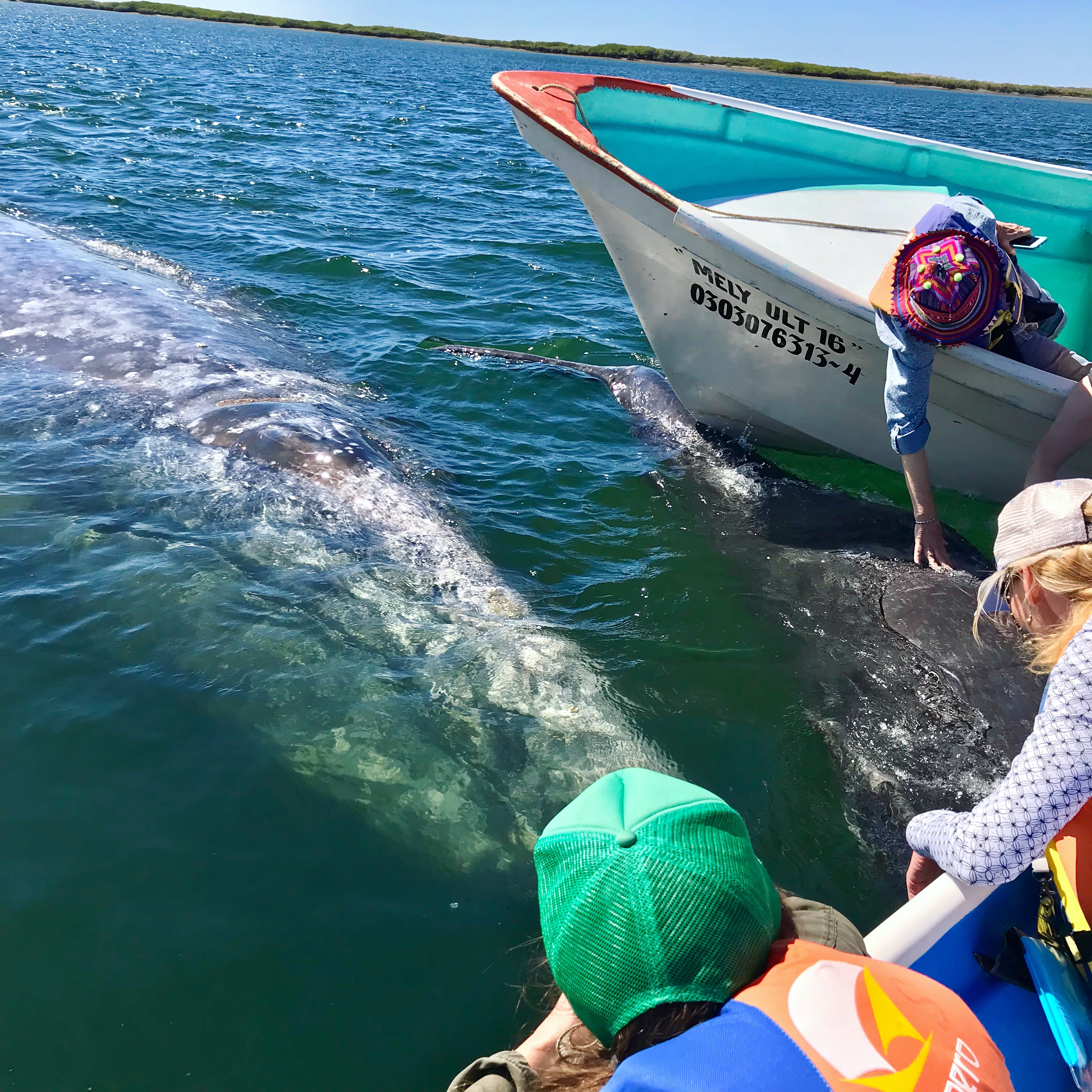 """""""Setting off from a dock in la Bahía de La Paz, the capital of Baja  California Sur, the boat slows as the first whale shark of the day comes  into view."""